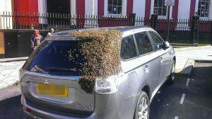 abejas-persiguen-auto-reina